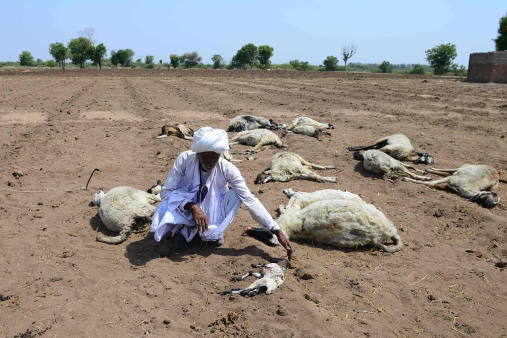 A shepherd and his animals perished by the drought in Chittapur, India